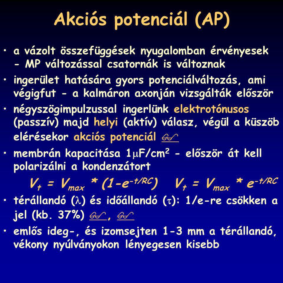 Akciós potenciál (AP) a vázolt összefüggések nyugalomban érvényesek - MP változással csatornák is változnak ingerület hatására gyors potenciálváltozás