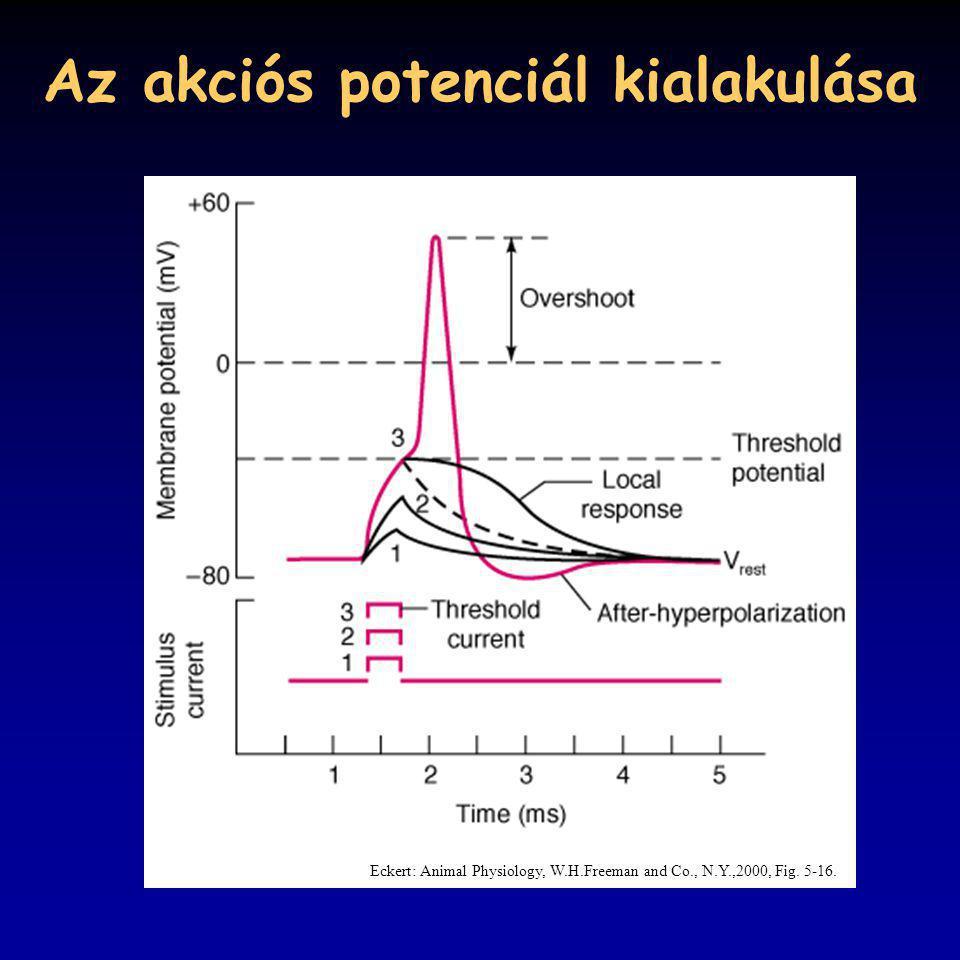 Az akciós potenciál kialakulása Eckert: Animal Physiology, W.H.Freeman and Co., N.Y.,2000, Fig. 5-16.