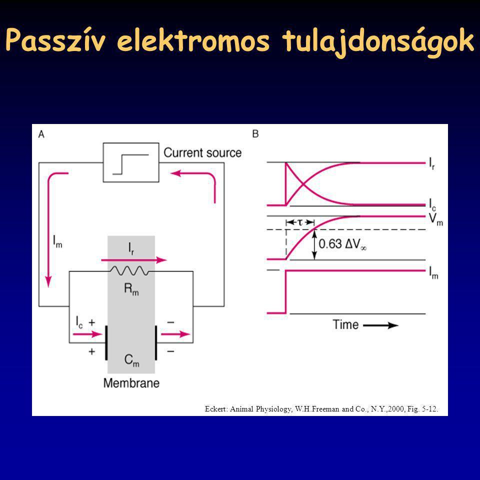 Passzív elektromos tulajdonságok Eckert: Animal Physiology, W.H.Freeman and Co., N.Y.,2000, Fig. 5-12.
