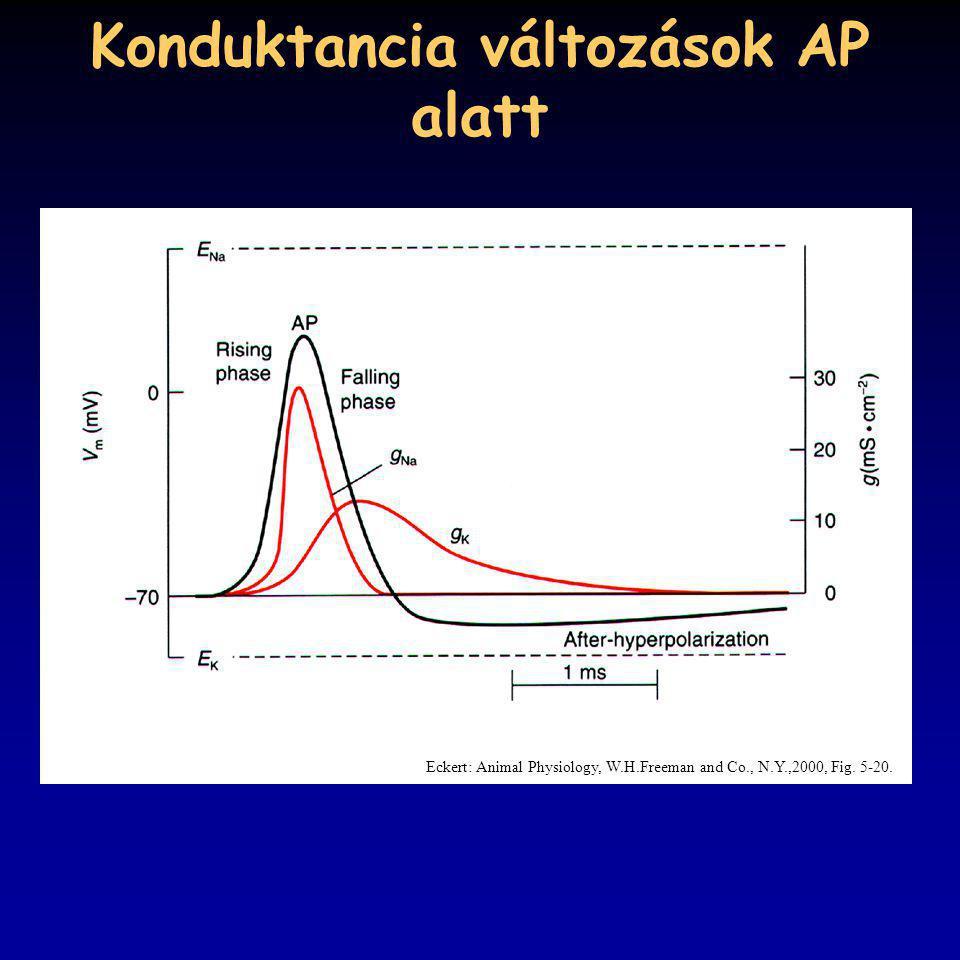 Konduktancia változások AP alatt Eckert: Animal Physiology, W.H.Freeman and Co., N.Y.,2000, Fig. 5-20.
