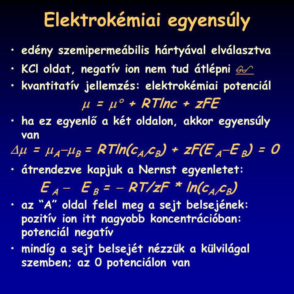 Elektrokémiai egyensúly edény szemipermeábilis hártyával elválasztva KCl oldat, negatív ion nem tud átlépni   kvantitatív jellemzés: elektrokémiai p