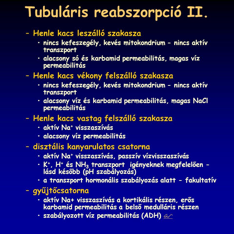 Tubuláris reabszorpció II. –Henle kacs leszálló szakasza nincs kefeszegély, kevés mitokondrium - nincs aktív transzport alacsony só és karbamid permea
