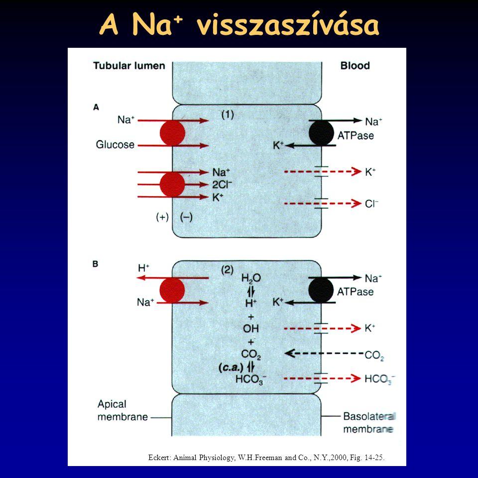 A Na + visszaszívása Eckert: Animal Physiology, W.H.Freeman and Co., N.Y.,2000, Fig. 14-25.