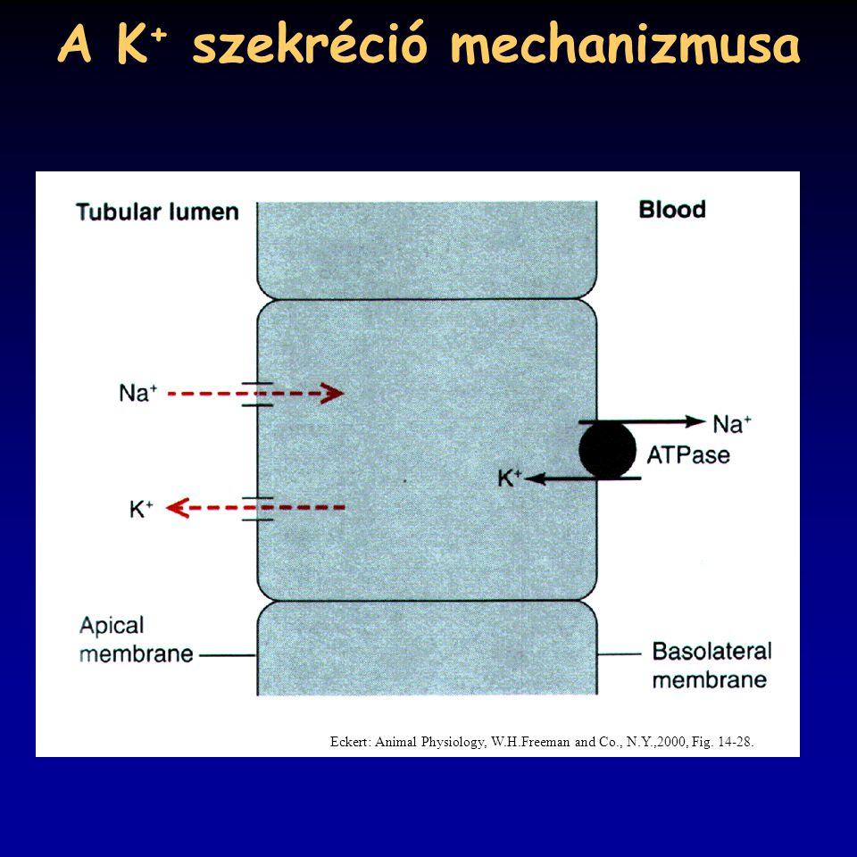 A K + szekréció mechanizmusa Eckert: Animal Physiology, W.H.Freeman and Co., N.Y.,2000, Fig. 14-28.