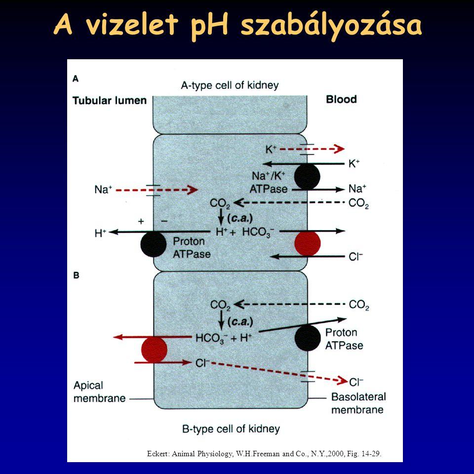 A vizelet pH szabályozása Eckert: Animal Physiology, W.H.Freeman and Co., N.Y.,2000, Fig. 14-29.