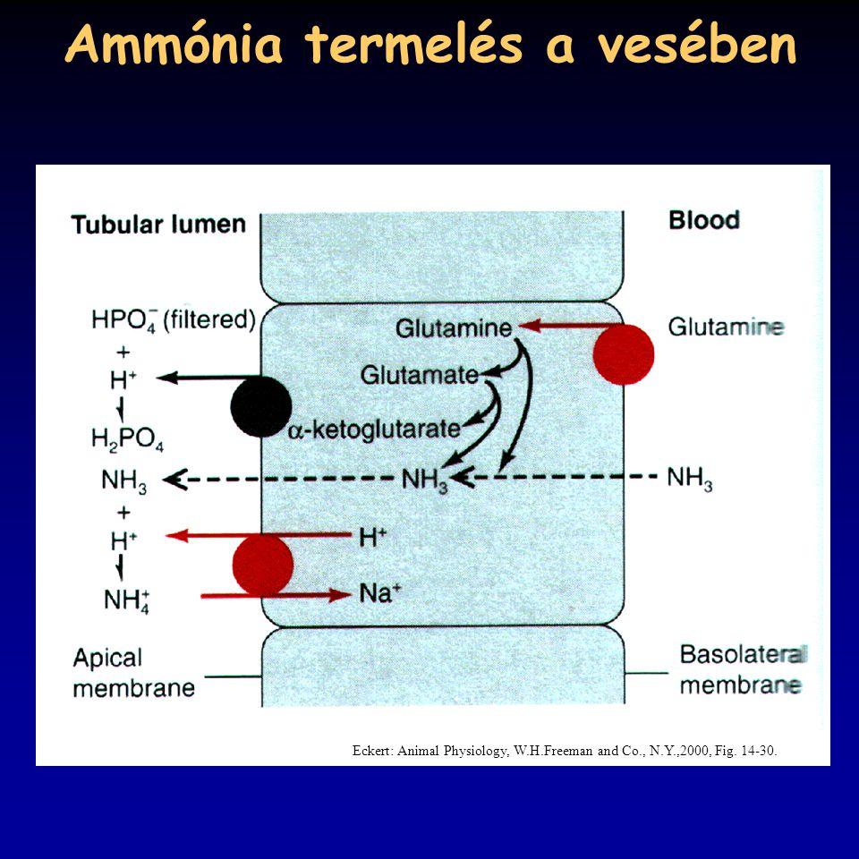 Ammónia termelés a vesében Eckert: Animal Physiology, W.H.Freeman and Co., N.Y.,2000, Fig. 14-30.