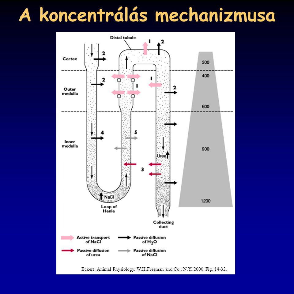 A koncentrálás mechanizmusa Eckert: Animal Physiology, W.H.Freeman and Co., N.Y.,2000, Fig. 14-32.