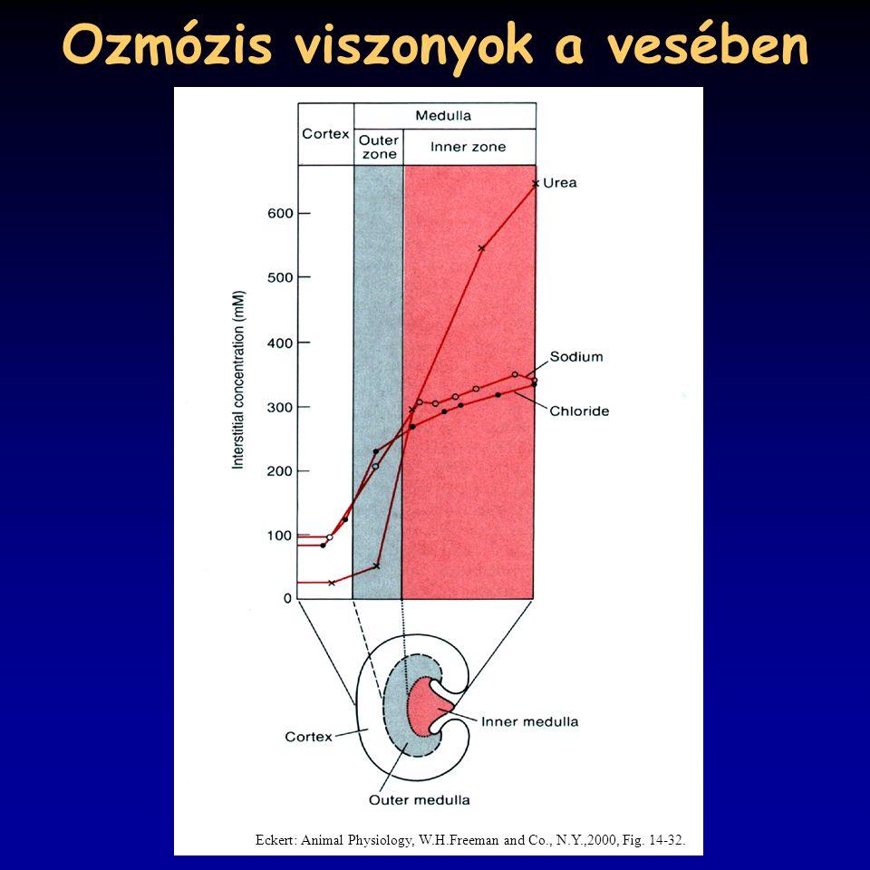 Ozmózis viszonyok a vesében Eckert: Animal Physiology, W.H.Freeman and Co., N.Y.,2000, Fig. 14-32.