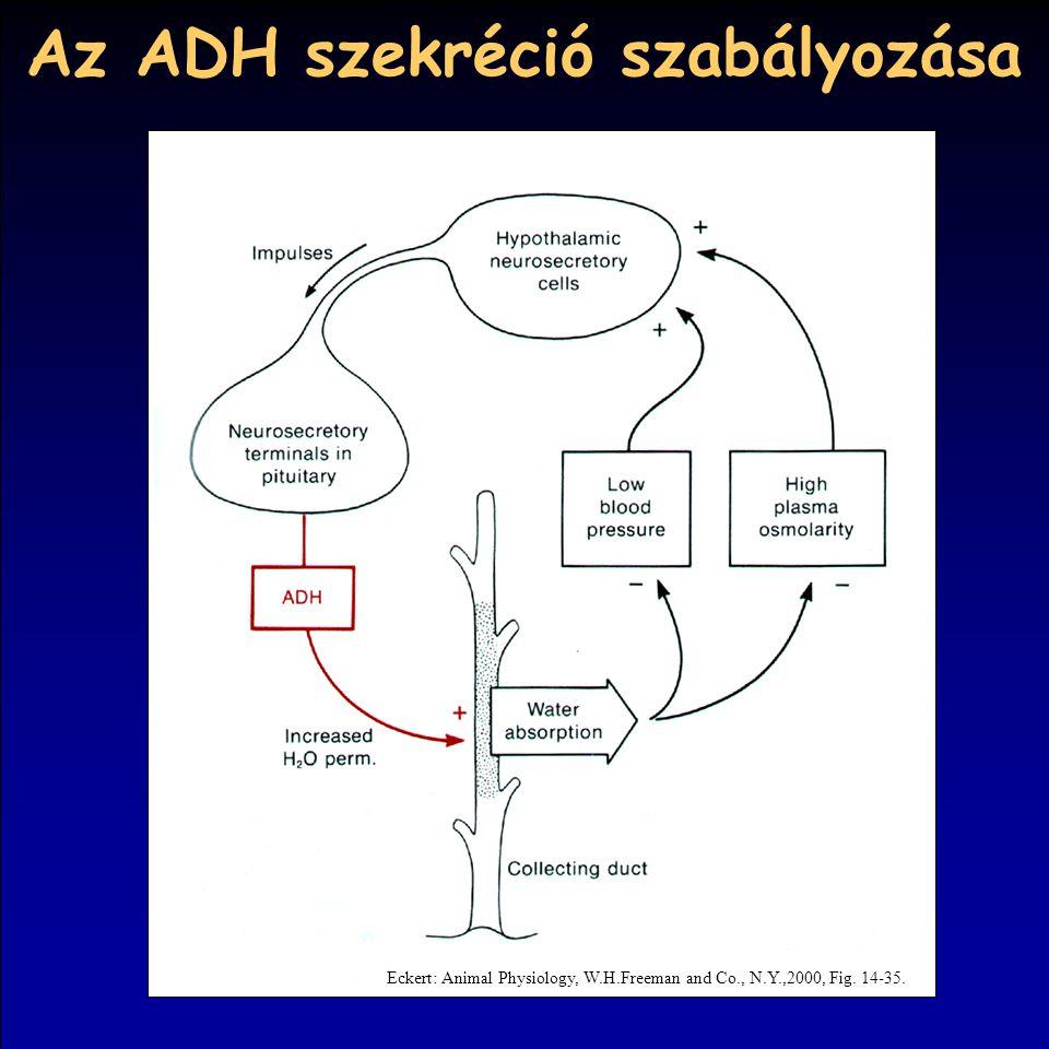 Az ADH szekréció szabályozása Eckert: Animal Physiology, W.H.Freeman and Co., N.Y.,2000, Fig. 14-35.