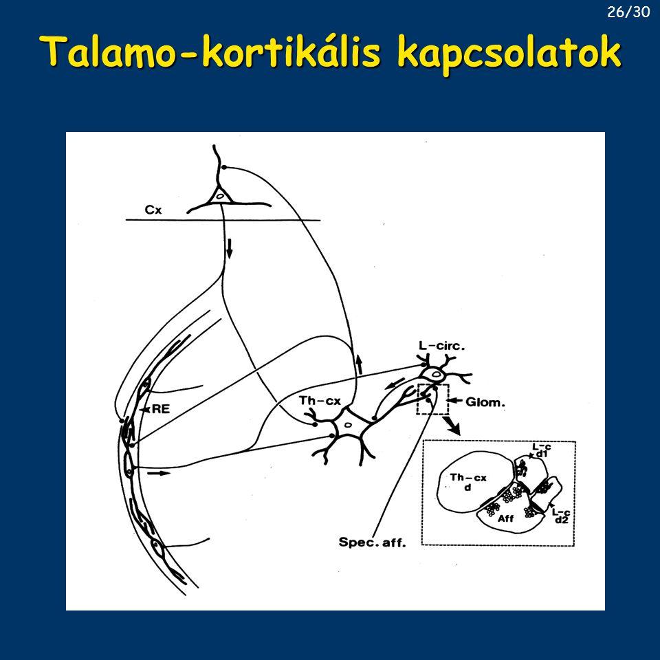 Talamo-kortikális kapcsolatok 26/30