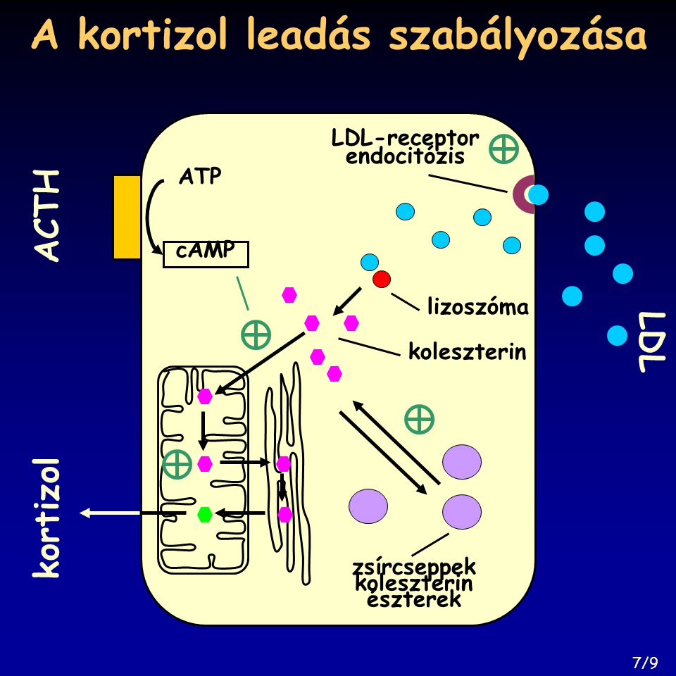A kortizol leadás szabályozása lizoszóma koleszterin ACTH ATP cAMP zsírcseppek koleszterin észterek kortizol LDL LDL-receptor endocitózis 7/9