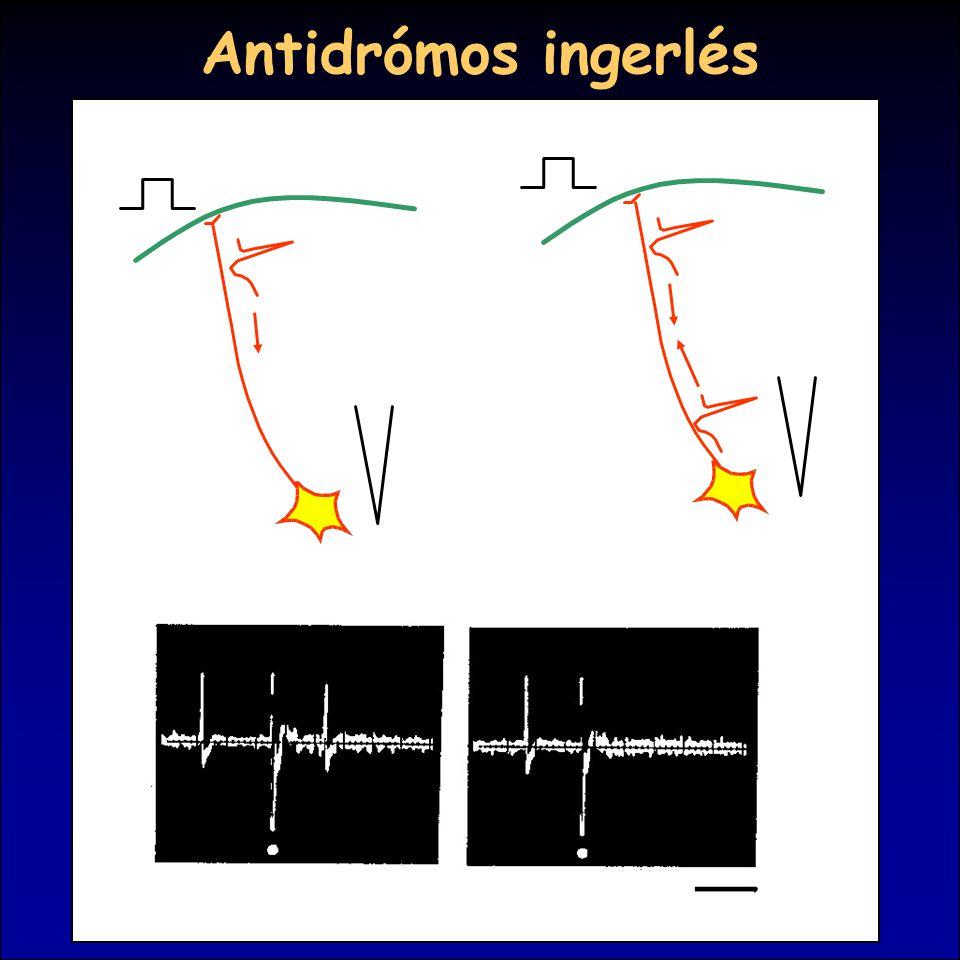 Antidrómos ingerlés