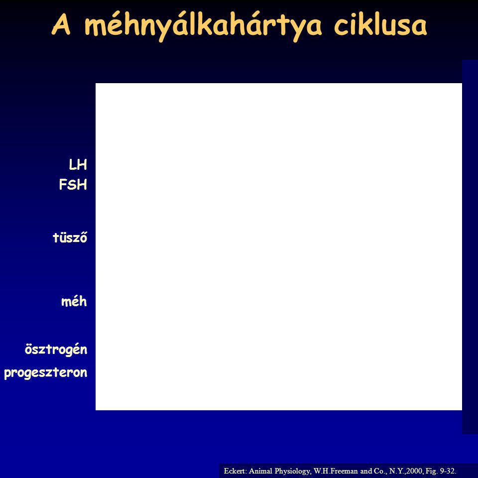 A méhnyálkahártya ciklusa Eckert: Animal Physiology, W.H.Freeman and Co., N.Y.,2000, Fig. 9-32. FSH LH tüsző méh ösztrogén progeszteron