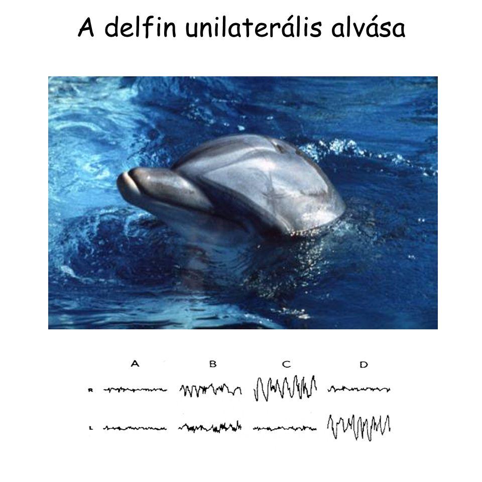 A delfin unilaterális alvása