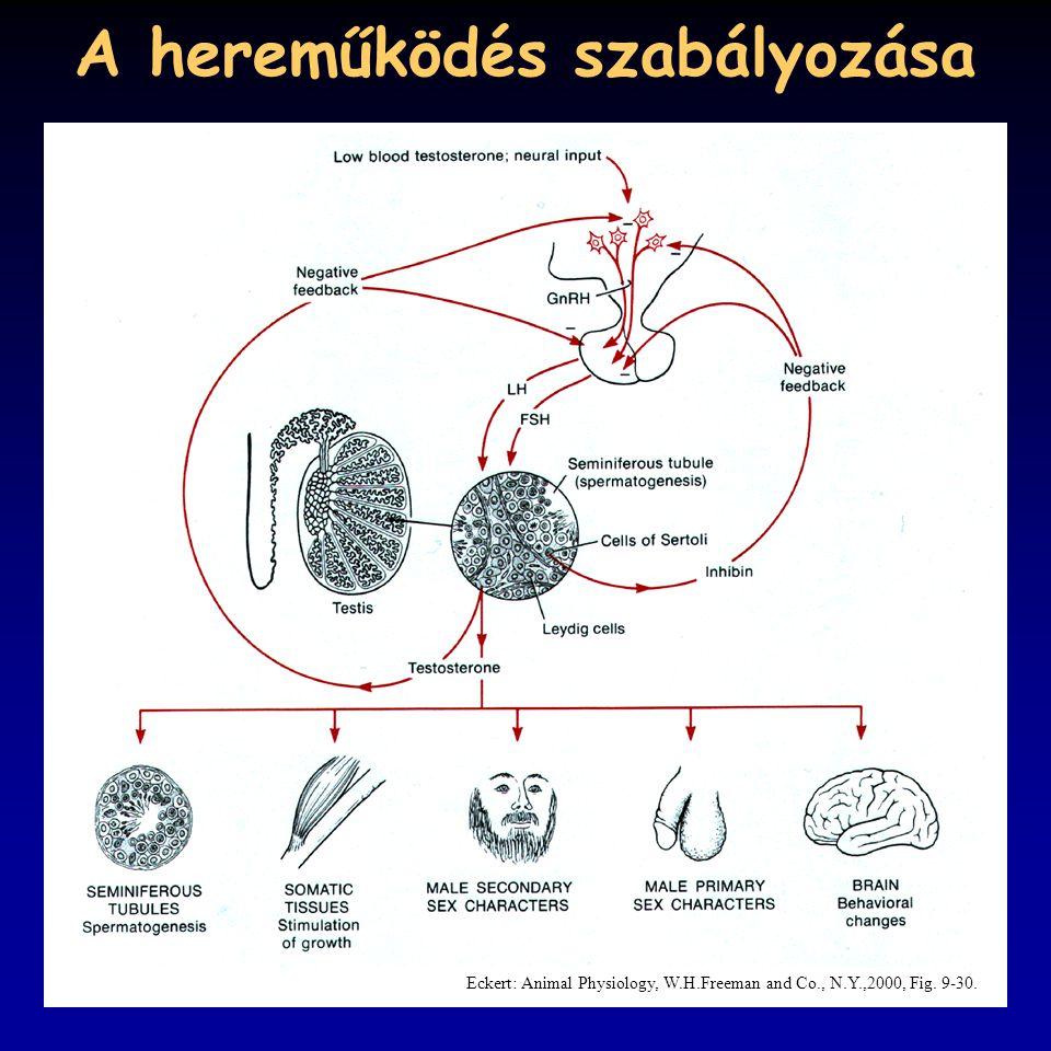 A hereműködés szabályozása Eckert: Animal Physiology, W.H.Freeman and Co., N.Y.,2000, Fig. 9-30.