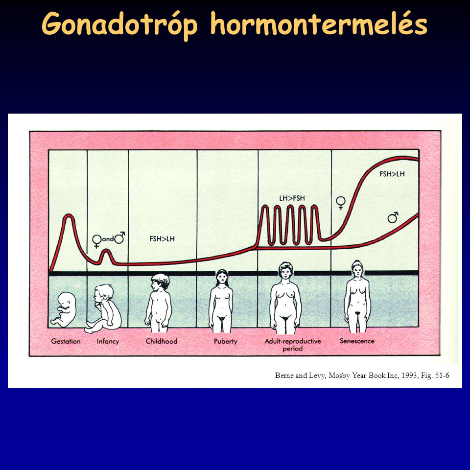 Gonadotróp hormontermelés Berne and Levy, Mosby Year Book Inc, 1993, Fig. 51-6