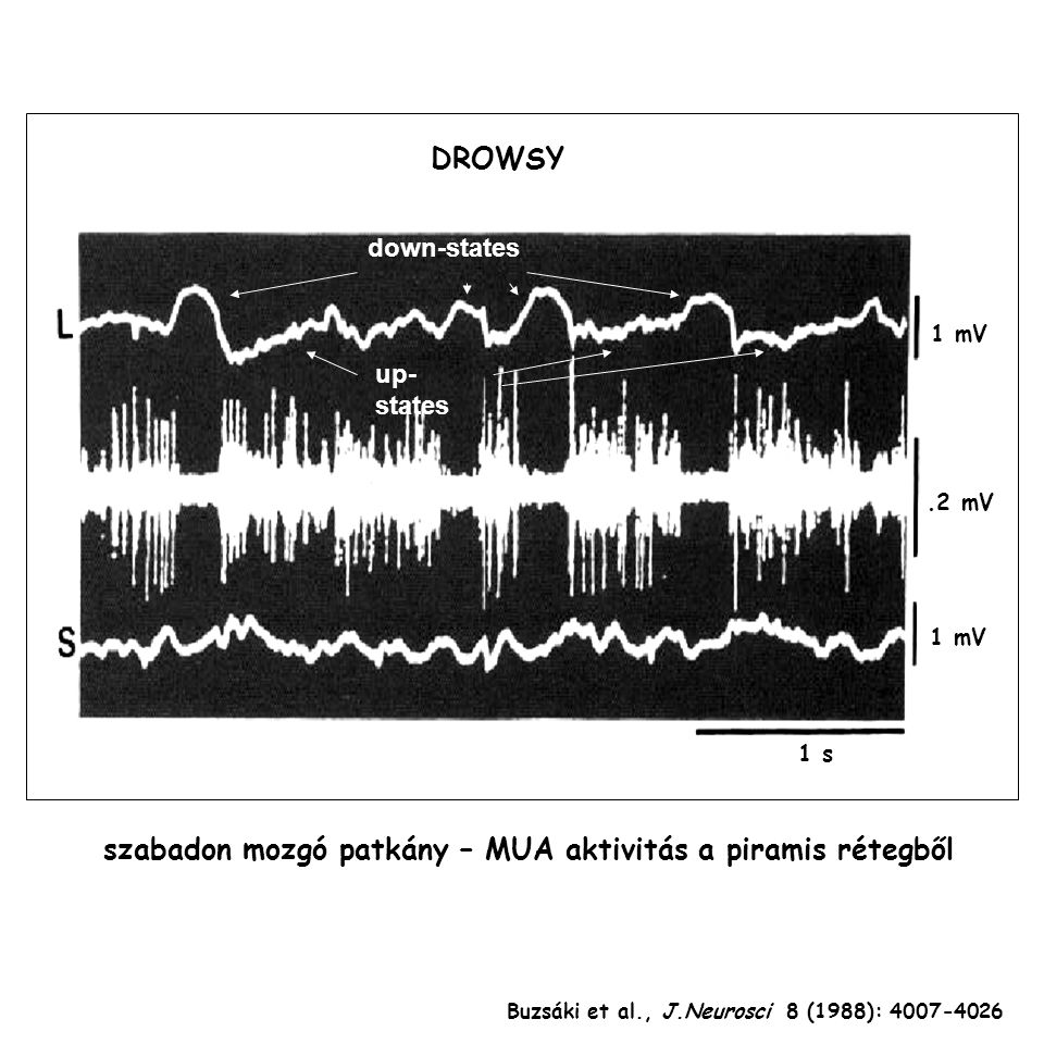 Buzsáki et al., J.Neurosci 8 (1988): 4007-4026 1 s DROWSY 1 mV.2 mV down-states up- states szabadon mozgó patkány – MUA aktivitás a piramis rétegből