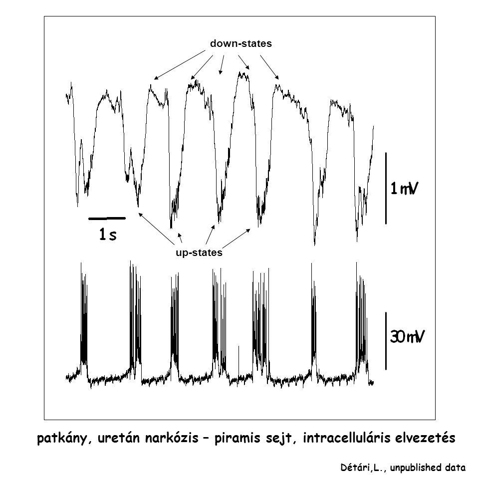 down-states up-states Détári,L., unpublished data patkány, uretán narkózis – piramis sejt, intracelluláris elvezetés