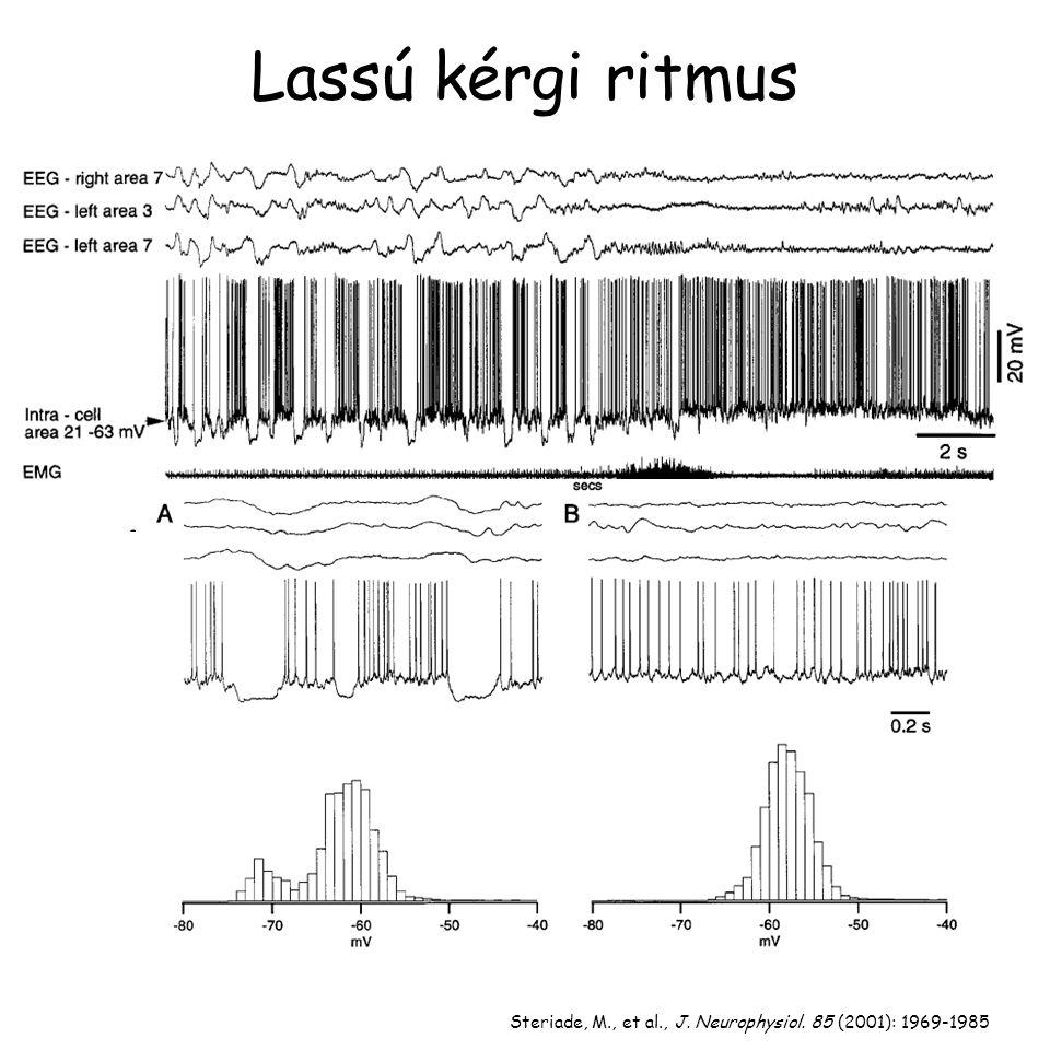 Steriade, M., et al., J. Neurophysiol. 85 (2001): 1969-1985 Lassú kérgi ritmus