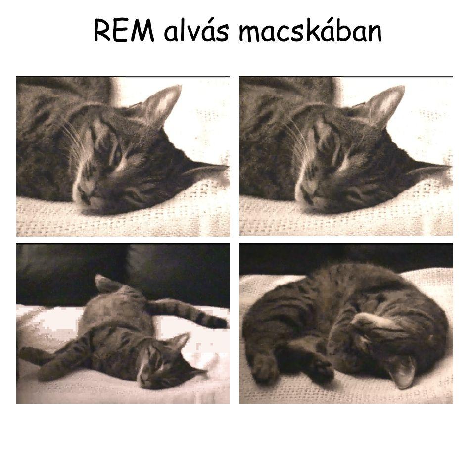 REM alvás macskában