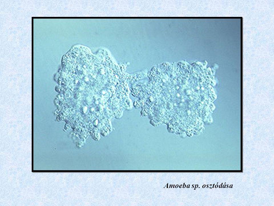 Amoeba sp. osztódása