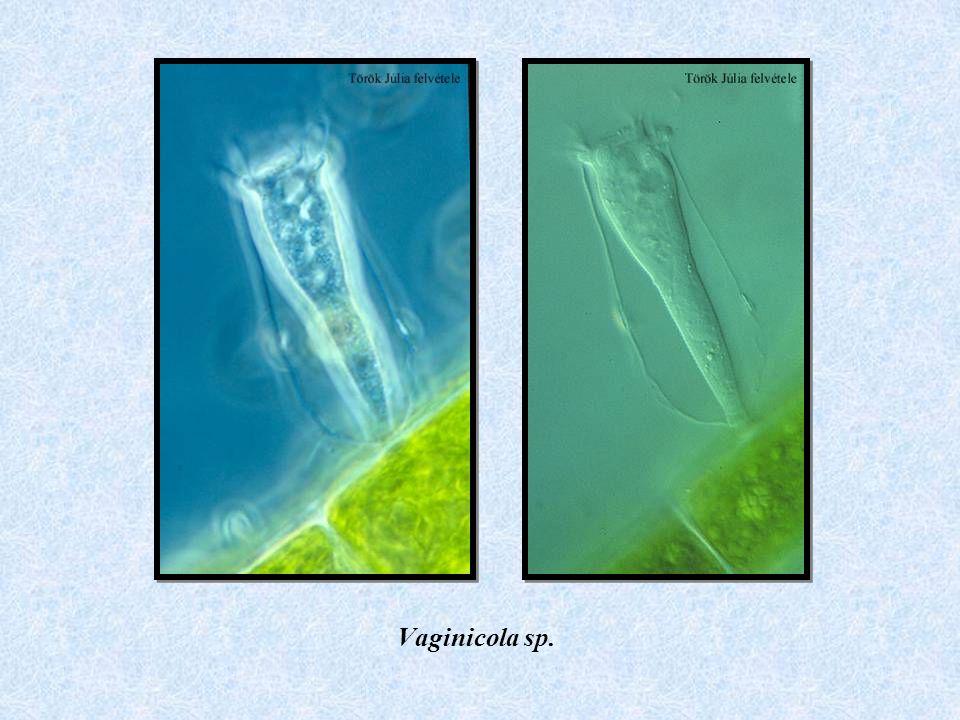 Vaginicola sp.