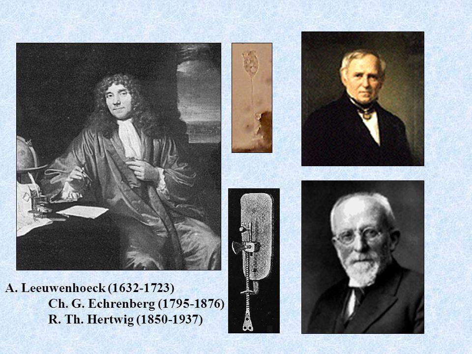 A. Leeuwenhoeck (1632-1723) Ch. G. Echrenberg (1795-1876) R. Th. Hertwig (1850-1937)
