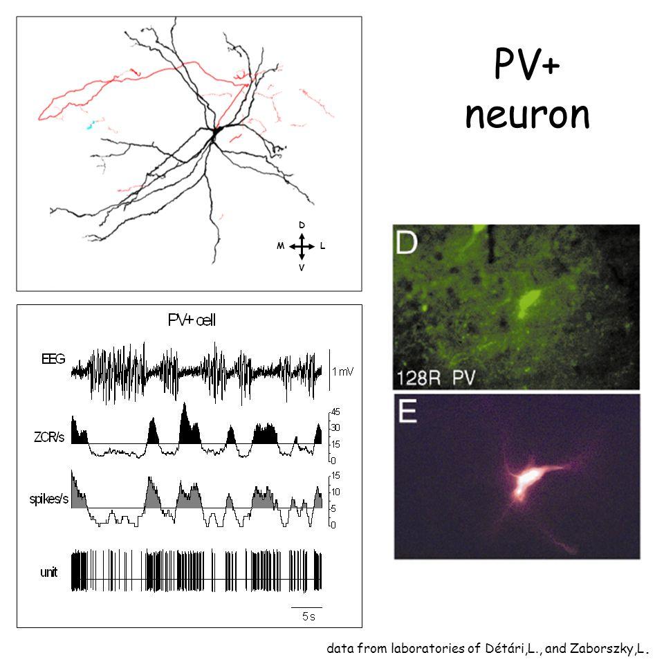 D L V M data from laboratories of Détári,L., and Zaborszky,L. PV+ neuron