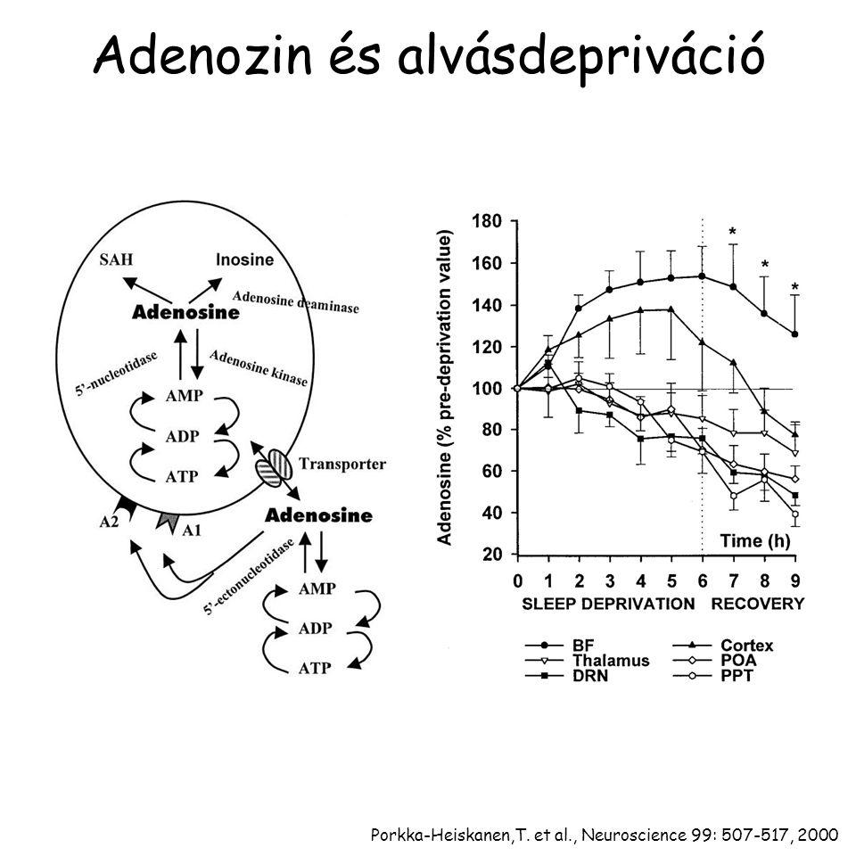 Adenozin és alvásdepriváció Porkka-Heiskanen,T. et al., Neuroscience 99: 507-517, 2000