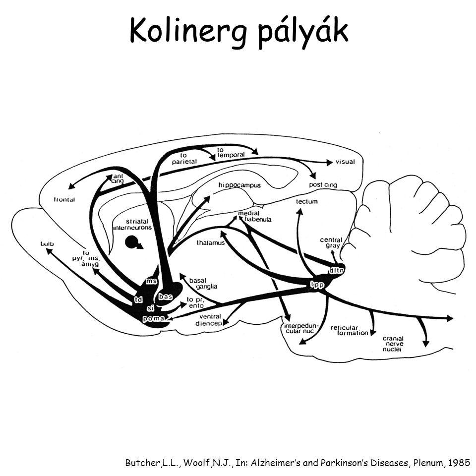 Szelektív ACh irtás Bernston,G.G. et al., Eur. J. Neurosci., 16 (2002): 2453-2461