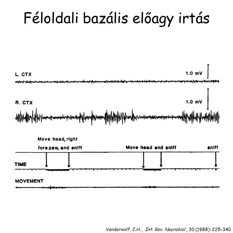 Féloldali bazális előagy irtás Vanderwolf, C.H., Int. Rev. Neurobiol., 30 (1988): 225-340