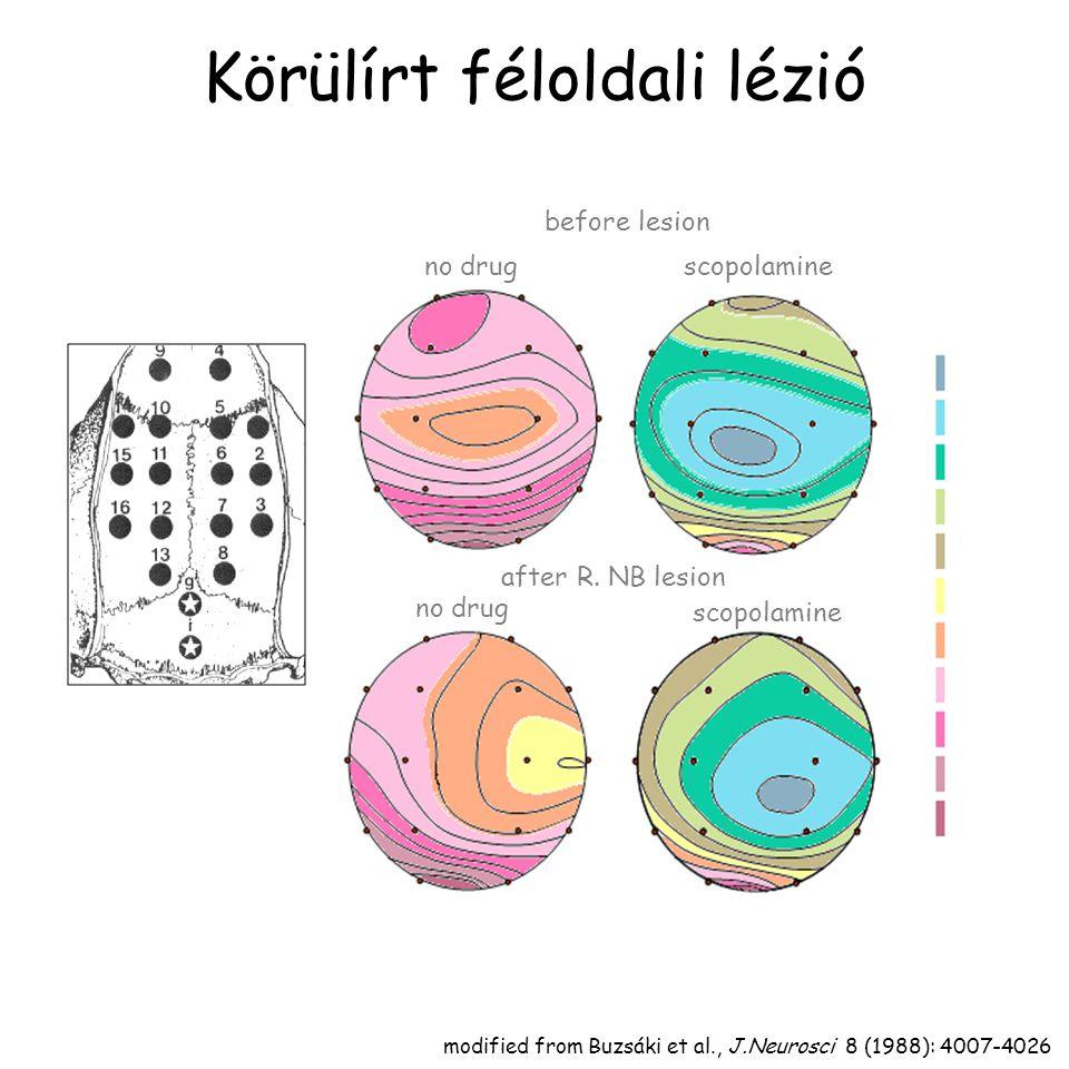 Kéregre vetülő sejt aktivitása Détári,L. and Vanderwolf,C.H. Brain Res., 437: 1-8, 1987