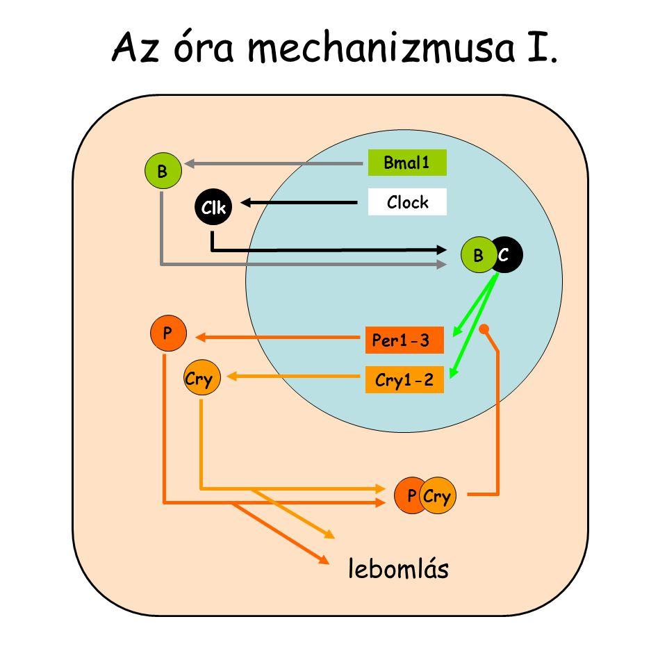 Az óra mechanizmusa I. Bmal1 Clock Per1-3 Cry1-2 B Cry Clk P C B PCry lebomlás