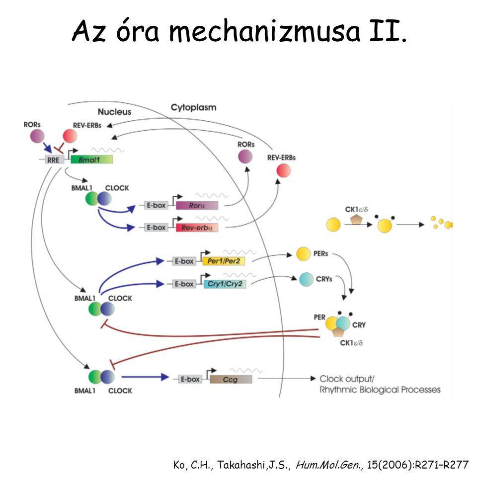 Ko, C.H., Takahashi,J.S., Hum.Mol.Gen., 15(2006):R271–R277 Az óra mechanizmusa II.