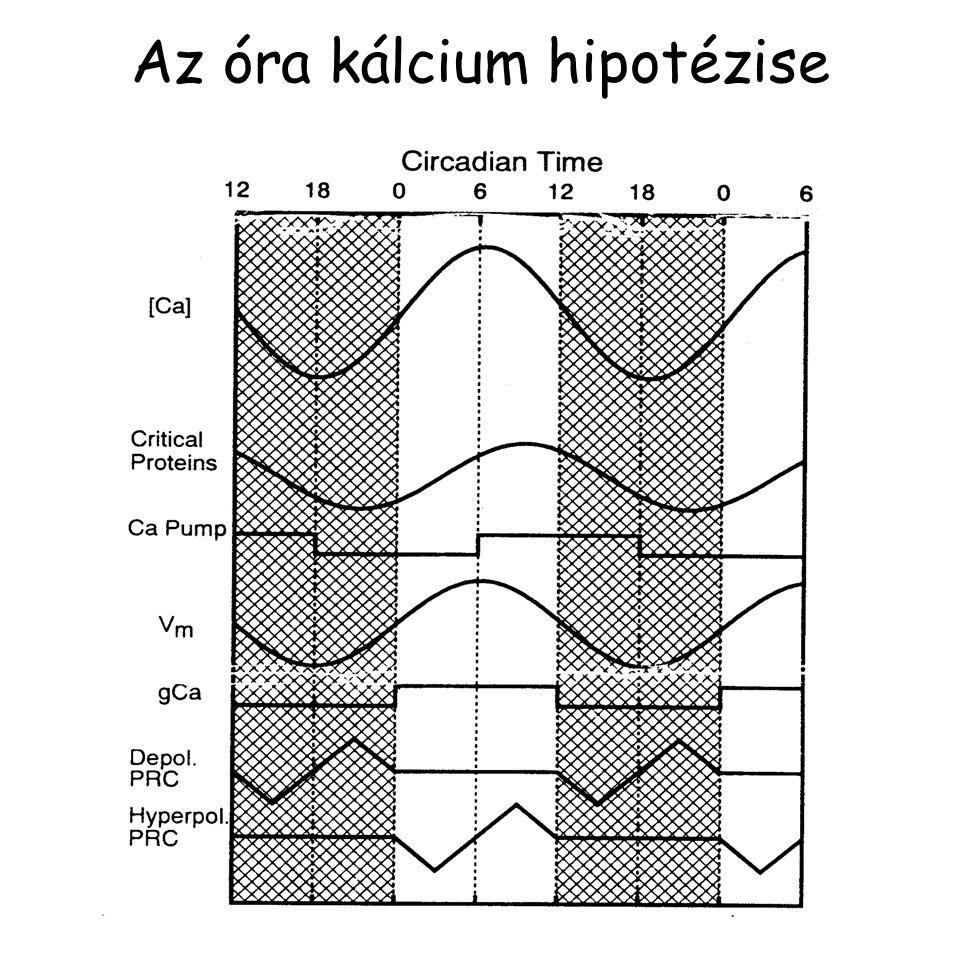 Az óra kálcium hipotézise