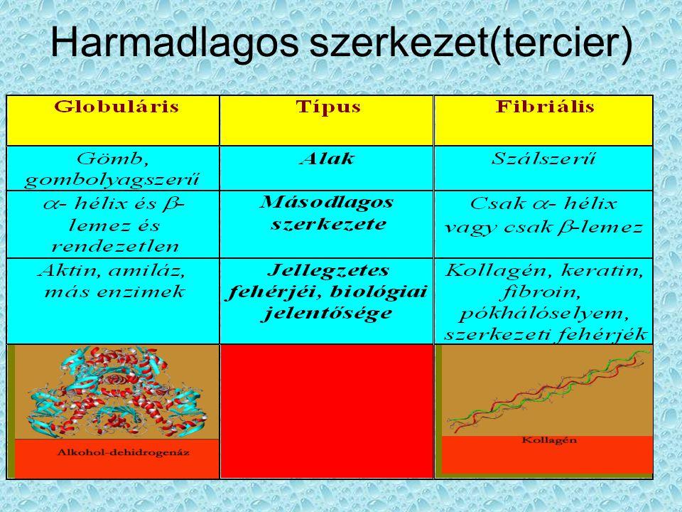 Negyedleges (kvaterner) szerkezet Több fehérje egységből álló makromolekulák szerkezetét jelenti Pl.: Hemoglobin Riboszóma Immunglubulinok