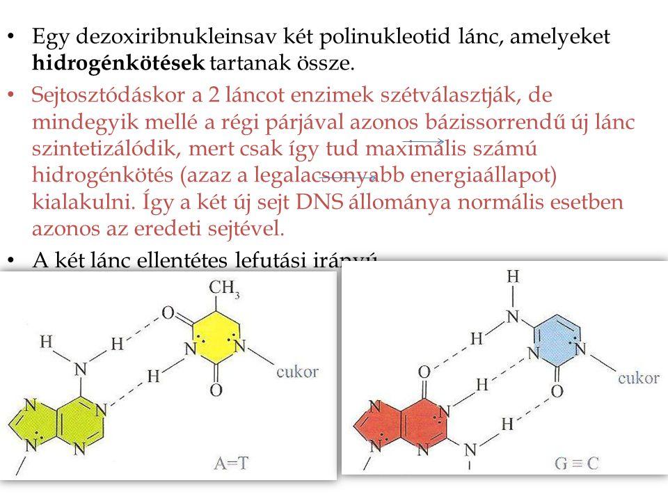 Egy dezoxiribnukleinsav két polinukleotid lánc, amelyeket hidrogénkötések tartanak össze. Sejtosztódáskor a 2 láncot enzimek szétválasztják, de mindeg