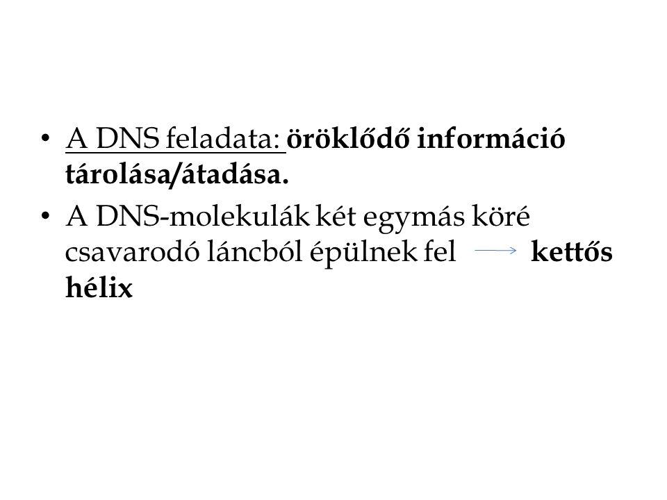 A DNS feladata: öröklődő információ tárolása/átadása. A DNS-molekulák két egymás köré csavarodó láncból épülnek fel kettős hélix