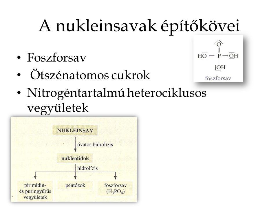 A nukleinsavak építőkövei Foszforsav Ötszénatomos cukrok Nitrogéntartalmú heterociklusos vegyületek