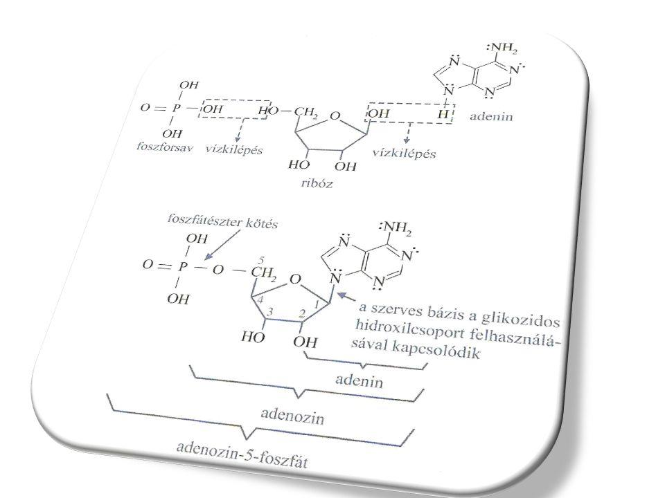 Az RNS és DNS szerkezete A nukleotidok (RNS, DNS) elágazásmentesen kapcsolódnak egymáshoz polinukleotid lánc A ribonukleinsavak molekuláit 80 – 3000 nukleotidból álló láncok alkotják foszfátészter kötés