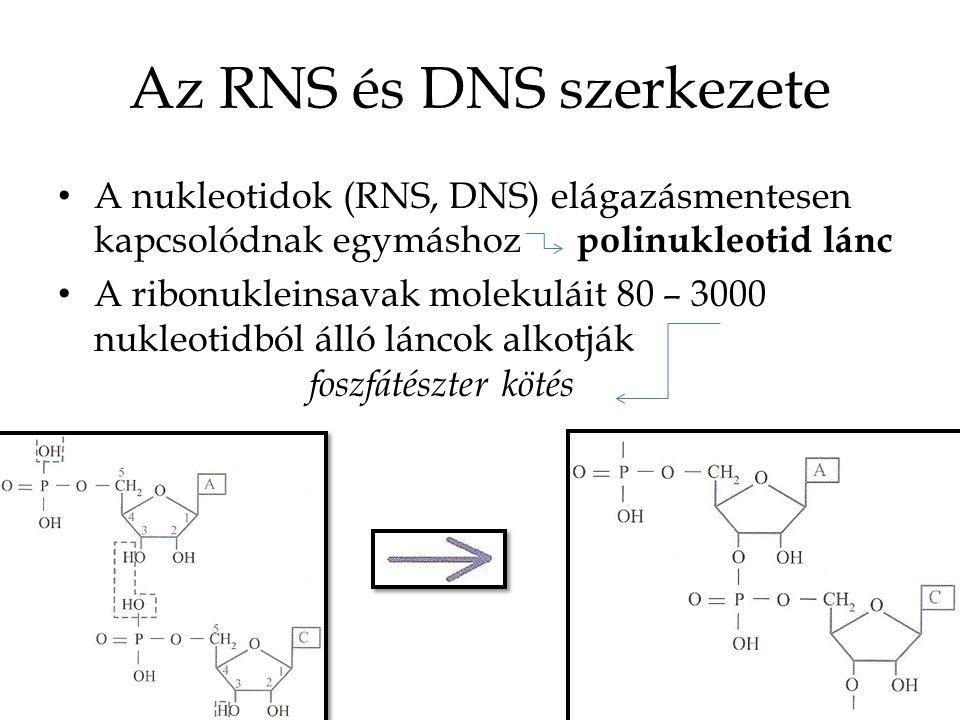 Az RNS és DNS szerkezete A nukleotidok (RNS, DNS) elágazásmentesen kapcsolódnak egymáshoz polinukleotid lánc A ribonukleinsavak molekuláit 80 – 3000 n