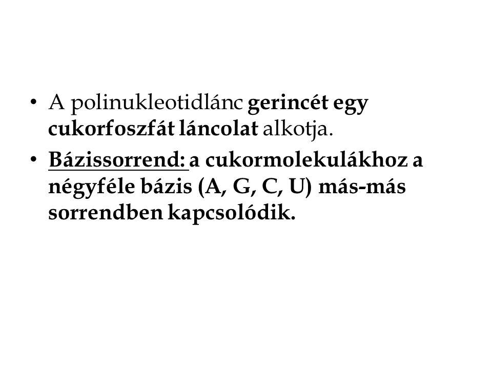A polinukleotidlánc gerincét egy cukorfoszfát láncolat alkotja. Bázissorrend: a cukormolekulákhoz a négyféle bázis (A, G, C, U) más-más sorrendben kap