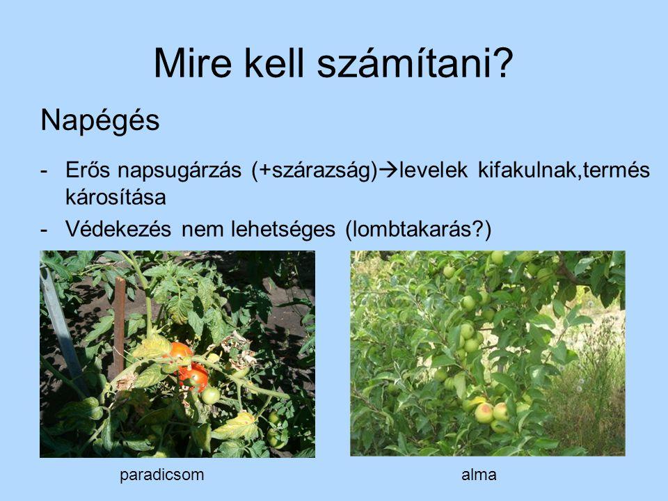 Mire kell számítani? Napégés -Erős napsugárzás (+szárazság)  levelek kifakulnak,termés károsítása -Védekezés nem lehetséges (lombtakarás?) paradicsom