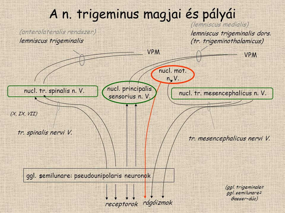 A n. trigeminus magjai és pályái tr. mesencephalicus nervi V. rágóizmok nucl. principalis sensorius n. V. ggl. semilunare: pseudounipolaris neuronok t