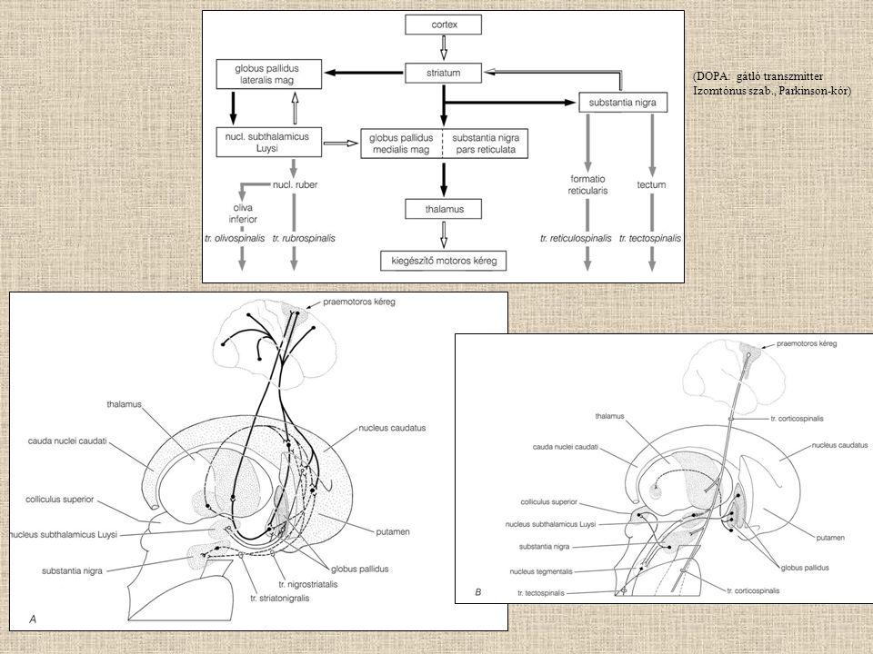 (DOPA: gátló transzmitter Izomtónus szab., Parkinson-kór)