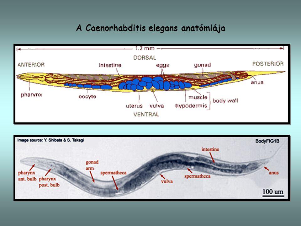 A Caenorhabditis elegans életciklusa dauer lárva fertilisatio peterakás gonadogenesis A Caenorhabditis elegans életciklusa (órák, 25 C-on) L1 L2 L3 L4 kikelés embriogenesisoogenesis spermiogenesis