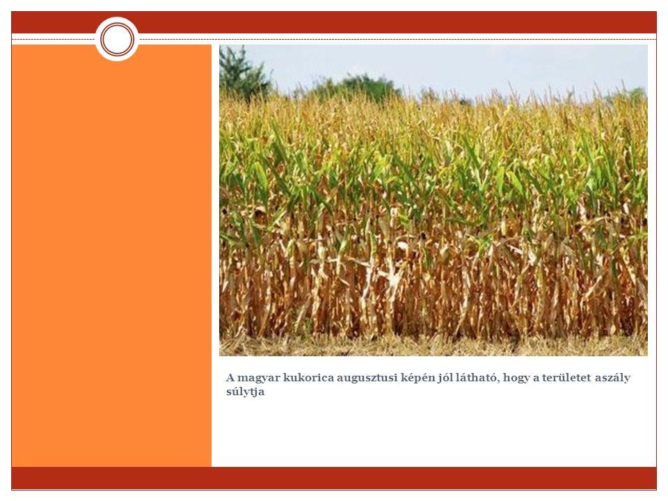 A magyar kukorica augusztusi képén jól látható, hogy a területet aszály súlytja