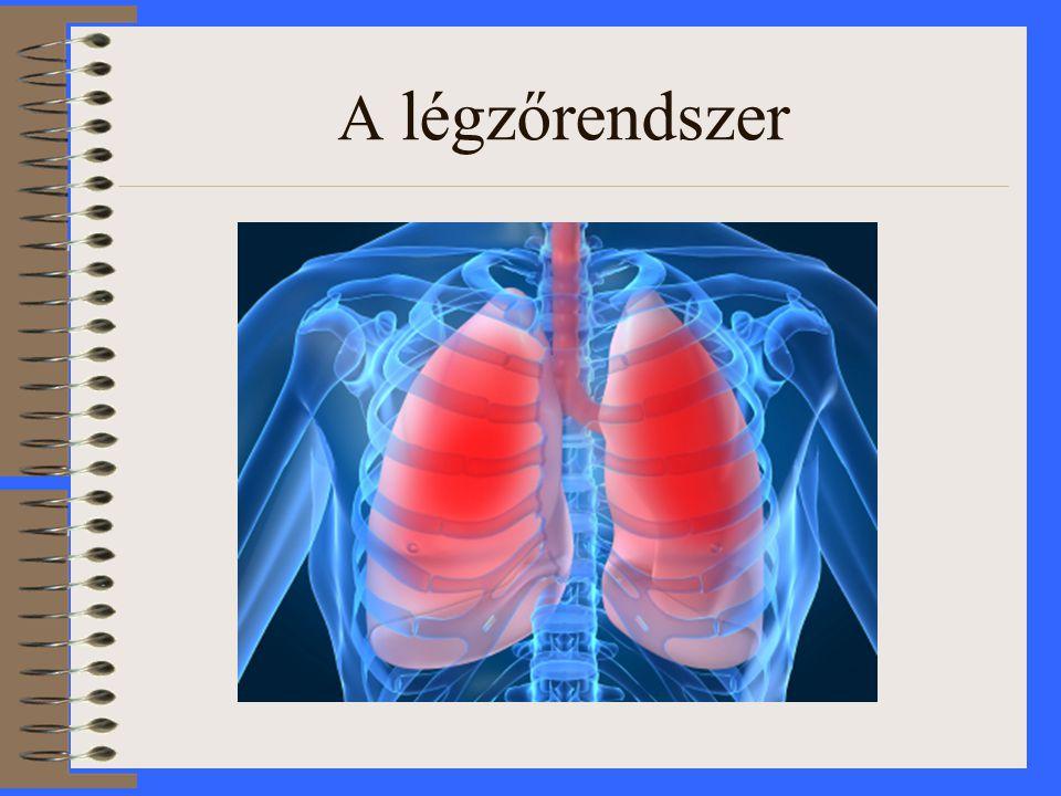 Feladata: -a szervezet gázcseréjének a biztosítása, azaz az O 2 felvétele és a CO 2 leadása.