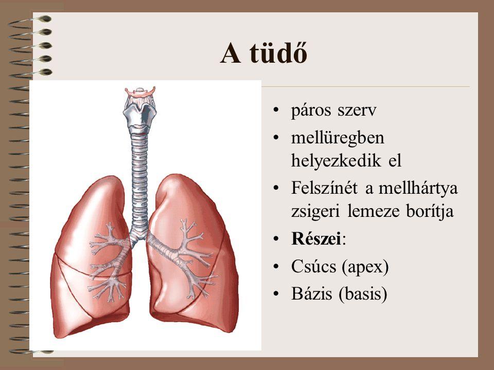 A tüdő páros szerv mellüregben helyezkedik el Felszínét a mellhártya zsigeri lemeze borítja Részei: Csúcs (apex) Bázis (basis)