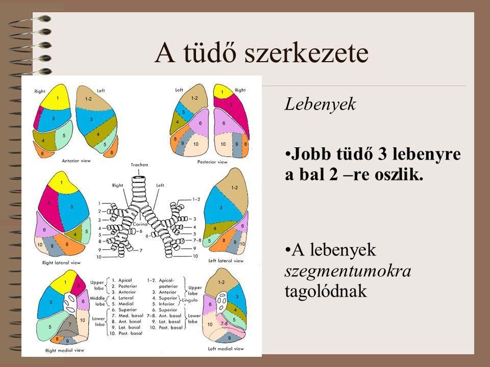 A tüdő szerkezete Lebenyek Jobb tüdő 3 lebenyre a bal 2 –re oszlik. A lebenyek szegmentumokra tagolódnak